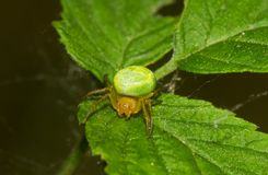 Cucumber green spider. A Cucumber green spider, a small green spider, on the leaf of a Raspberry Stock Image
