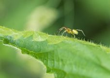 Cucumber green spider on green leaf. Eways shot of acucumber green spider on green leaf Royalty Free Stock Photo