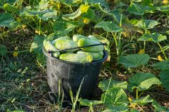 Cucumber in green vegetable garden in Pua district,. The  northern of Thailand Royalty Free Stock Photos