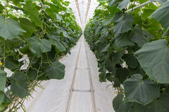 Cucumber greenhouse perspective path Royalty Free Stock Photography