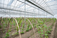 Cucumber in greenhouse Royalty Free Stock Image