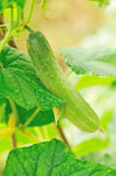 Cucumber growing Stock Photography