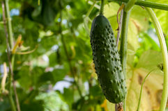 Cucumber growing in the garden Royalty Free Stock Photography