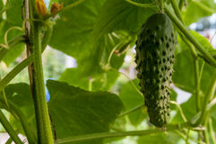 Cucumber growing in the garden. Growing cucumbers in the greenhouse Royalty Free Stock Image