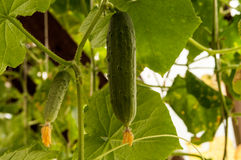 Cucumber growing in the garden. Growing cucumbers in the greenhouse Stock Photos