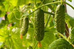 Cucumber growing in the garden. Growing cucumbers in the greenhouse Royalty Free Stock Photo