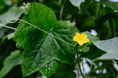 Cucumber growing in garden. Stock Photography