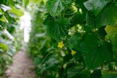 Cucumber growing in garden. Royalty Free Stock Photo