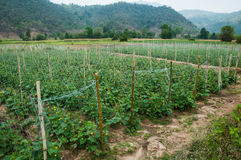 Cucumber growing in the garden. Thailand Royalty Free Stock Image