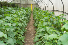 Cucumber growing at Greenhouse Royalty Free Stock Images