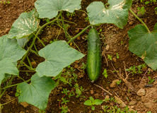 Cucumber growing naturally on the soil and weeds Royalty Free Stock Photography