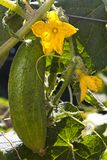 Cucumber growing on plant Royalty Free Stock Photos