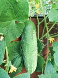 Cucumber growing on vine. Healthy cucumber vegetable growing on green vine with leaves and yellow flowers. Hanging off the side of a raised bed Garden outdoors Stock Photo