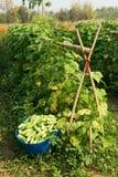Cucumber Harvest Royalty Free Stock Photo