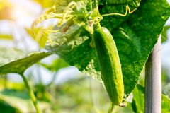 Cucumber harvest in a small domestic greenhouse. The cucumber fruits grow and are ready for harvesting. Variety of cucumbers, clim royalty free stock photo