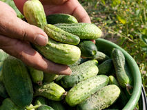 Cucumber harvesting Stock Photo