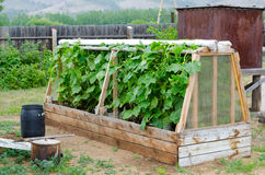 Cucumber hotbed. With ripe plants at vegetable garden Stock Images