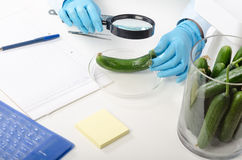 Cucumber inspected in phytocontrol laboratory Royalty Free Stock Images