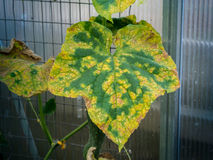Cucumber leaf infected by downy mildew. Photo shows a top view of a cucumber leaf infected by downy mildew Stock Photos