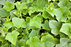 Cucumber leaves Royalty Free Stock Photos