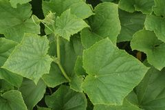 Cucumber leaves Stock Photo