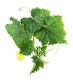Cucumber leaves isolated on white Royalty Free Stock Photos