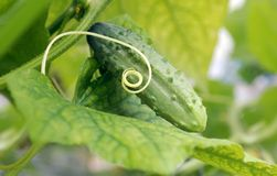 Cucumber lying on the leaf Royalty Free Stock Photos