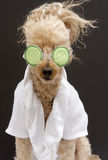 Cucumber Mask Poodle Stock Images