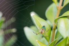 Cucumber orb web spider Royalty Free Stock Photos