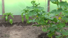 Cucumber and pepper plants in plastic greenhouse stock video