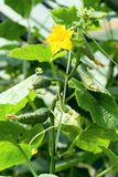Cucumber plant Royalty Free Stock Images