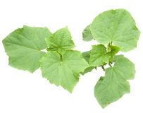 Cucumber plant Royalty Free Stock Image