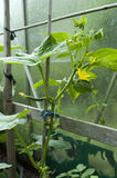 Cucumber plant. In a greenhouse stock photos