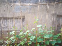 Cucumber plant. On the bamboo shelf by the wall Royalty Free Stock Image