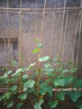 Cucumber plant. On the bamboo shelf by the wall Stock Image