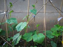 Cucumber plant. On the bamboo shelf by the wall Royalty Free Stock Photography