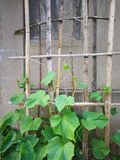 Cucumber plant. On the bamboo shelf by the wall Royalty Free Stock Photos