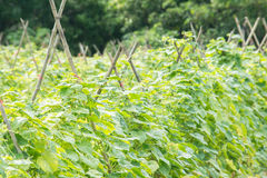 Cucumber plant farming. Stock Image