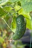 Cucumber plant in the garden. Stock Images