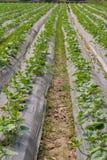 Cucumber plant Stock Images