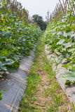 Cucumber plant Stock Photos