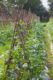 Cucumber plant Stock Image