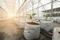 Cucumber plant growing in greenhouse. With drip irrigation Stock Images
