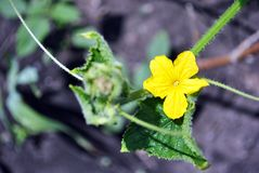 Cucumber plant growing, leaves and flower on stem, close up detail top view, soft background. Cucumber plant growing, leaves and flower on stem, close up detail stock images