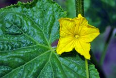 Cucumber plant growing, leaves and flower on stem, close up detail top view. Soft blurry background royalty free stock photos