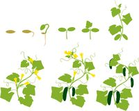 Cucumber plant growth cycle. Silhouette Royalty Free Stock Image