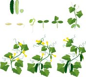 Cucumber plant growth cycle. On white background Stock Images