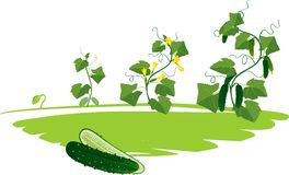 Cucumber plant growth cycle Royalty Free Stock Photos