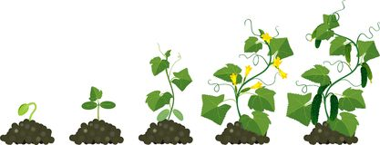 Cucumber plant growth cycle Stock Image