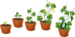 Cucumber plant growth cycle Stock Photo